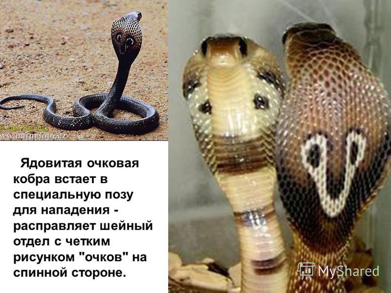 Ядовитая очковая кобра встает в специальную позу для нападения - расправляет шейный отдел с четким рисунком очков на спинной стороне.