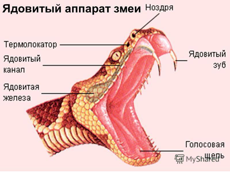 Ядовитый аппарат змеи