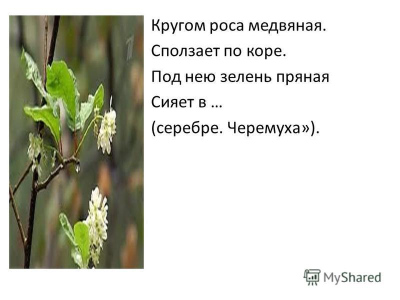 Кругом роса медвяная. Сползает по коре. Под нею зелень пряная Сияет в … (серебре. Черемуха»).