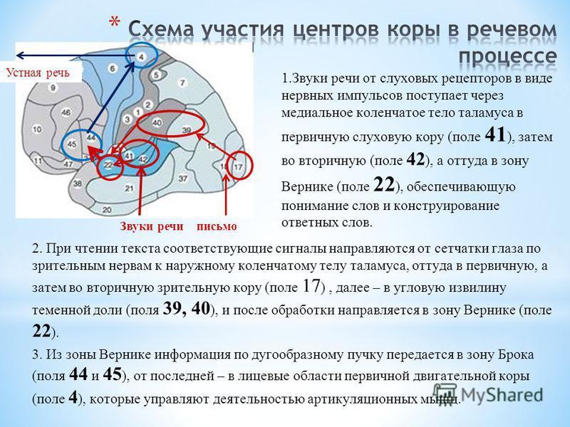 2. При чтении текста соответствующие сигналы направляются от сетчатки глаза по зрительным нервам к наружному коленчатому телу таламуса, оттуда в первичную, а затем во вторичную зрительную кору (поле 17 ), далее – в угловую извилину теменной доли (пол