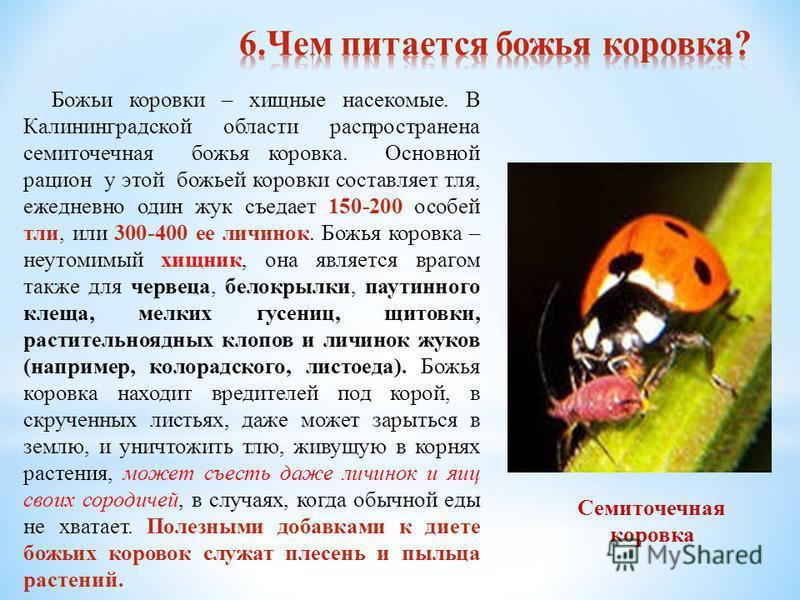 Божьи коровки – хищные насекомые. В Калининградской области распространена семиточечная божья коровка. Основной рацион у этой божьей коровки составляет тля, ежедневно один жук съедает 150-200 особей тли, или 300-400 ее личинок. Божья коровка – неутом