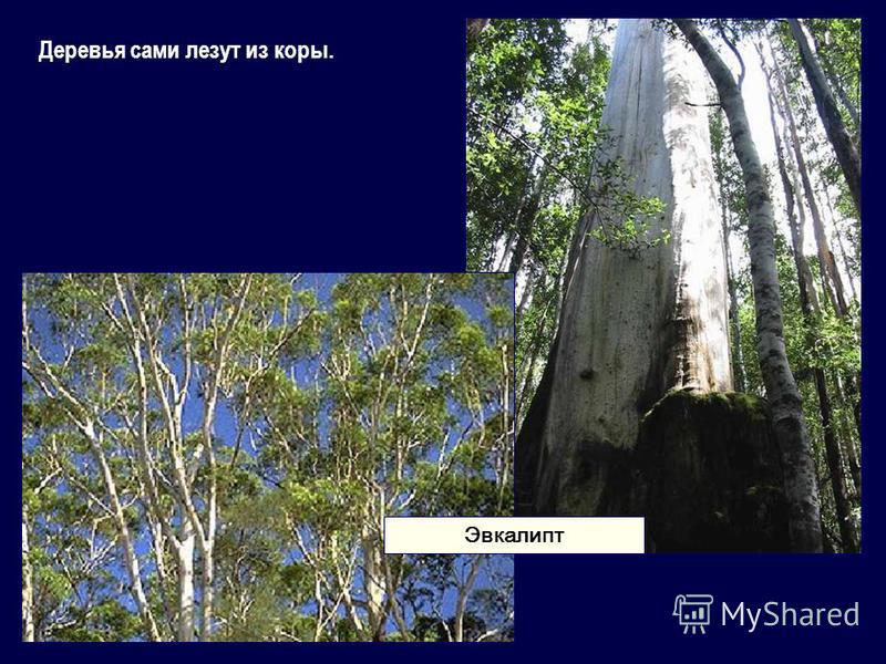 Деревья сами лезут из коры. Эвкалипт