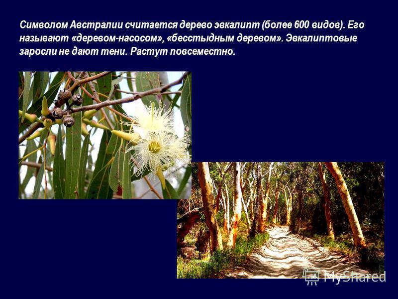 Символом Австралии считается дерево эвкалипт (более 600 видов). Его называют «деревом-насосом», «бесстыдным деревом». Эвкалиптовые заросли не дают тени. Растут повсеместно.