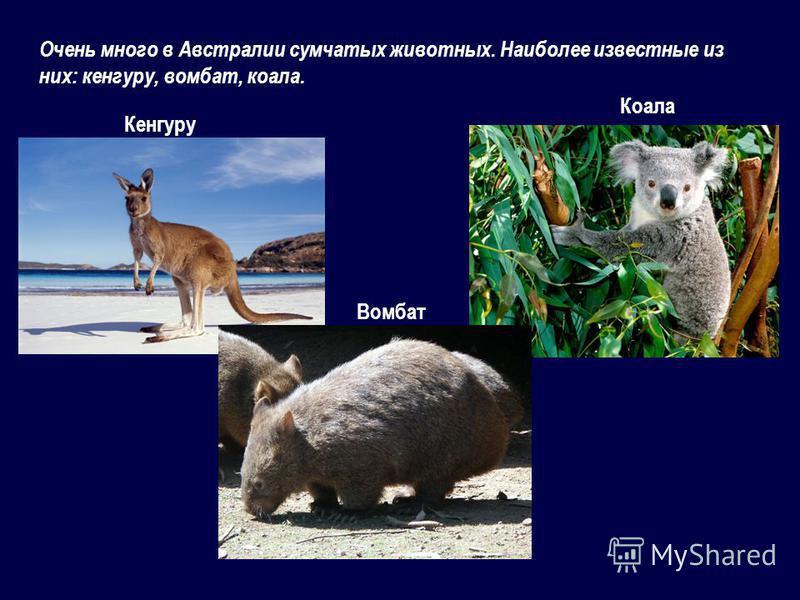 Очень много в Австралии сумчатых животных. Наиболее известные из них: кенгуру, вомбат, коала. Вомбат Кенгуру Коала