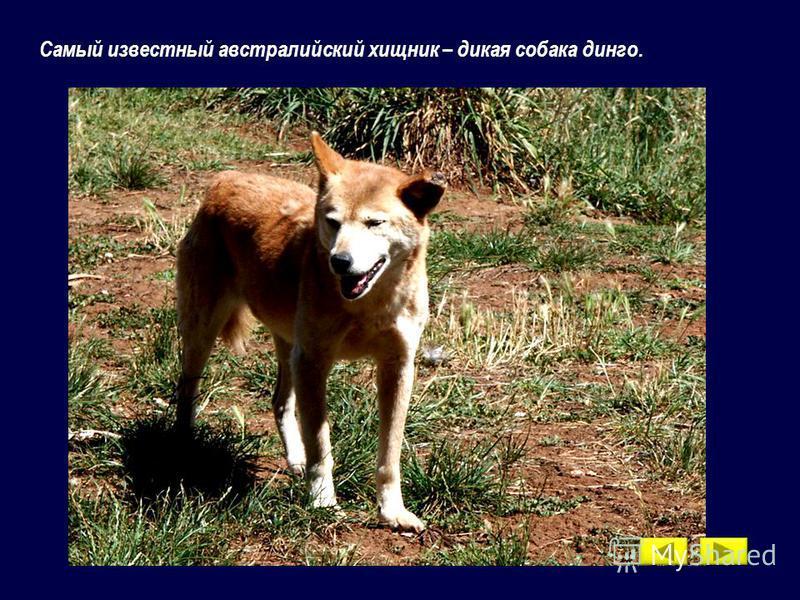 Самый известный австралийский хищник – дикая собака динго.
