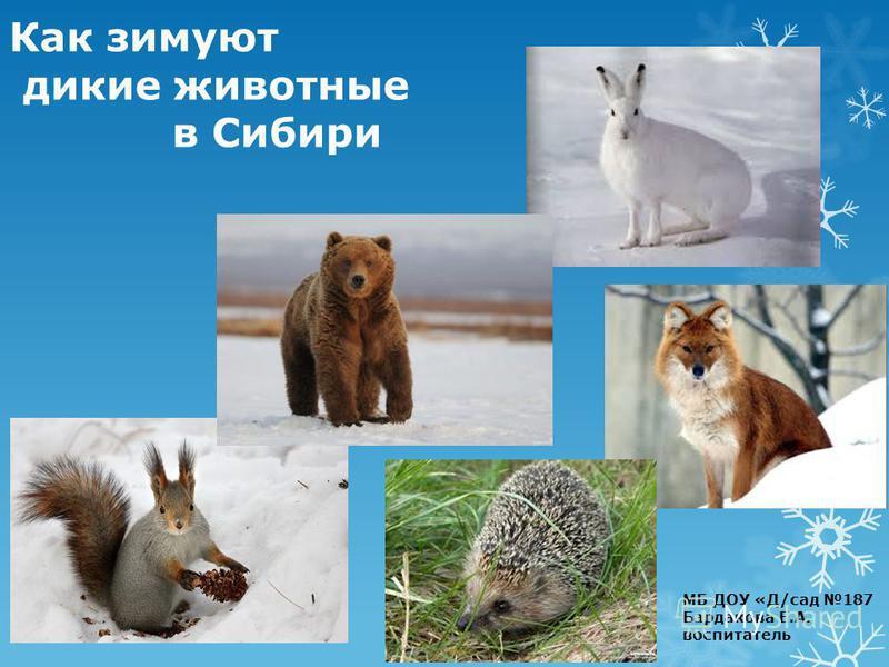 Как зимуют дикие животные в Сибири МБ ДОУ «Д/сад 187 Бардакова Е.А. воспитатель