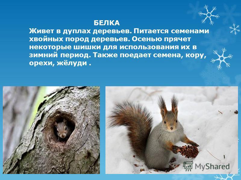 БЕЛКА Живет в дуплах деревьев. Питается семенами хвойных пород деревьев. Осенью прячет некоторые шишки для использования их в зимний период. Также поедает семена, кору, орехи, жёлуди.