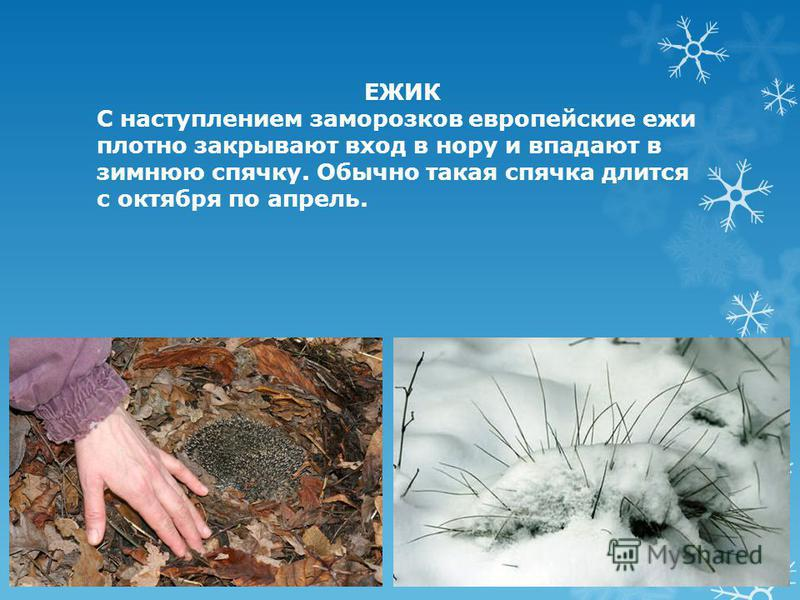 ЕЖИК С наступлением заморозков европейские ежи плотно закрывают вход в нору и впадают в зимнюю спячку. Обычно такая спячка длится с октября по апрель.