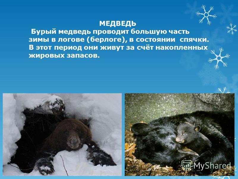МЕДВЕДЬ Бурый медведь проводит большую часть зимы в логове (берлоге), в состоянии спячки. В этот период они живут за счёт накопленных жировых запасов.