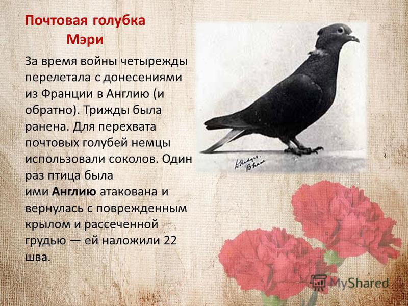 Почтовая голубка Мэри За время войны четырежды перелетала с донесениями из Франции в Англию (и обратно). Трижды была ранена. Для перехвата почтовых голубей немцы использовали соколов. Один раз птица была ими Англию атакована и вернулась с поврежденны