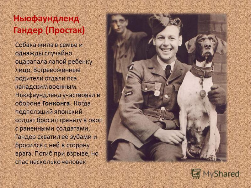 Ньюфаундленд Гандер (Простак) Собака жила в семье и однажды случайно оцарапала лапой ребенку лицо. Встревоженные родители отдали пса канадским военным. Ньюфаундленд участвовал в обороне Гонконга. Когда подползший японский солдат бросил гранату в окоп