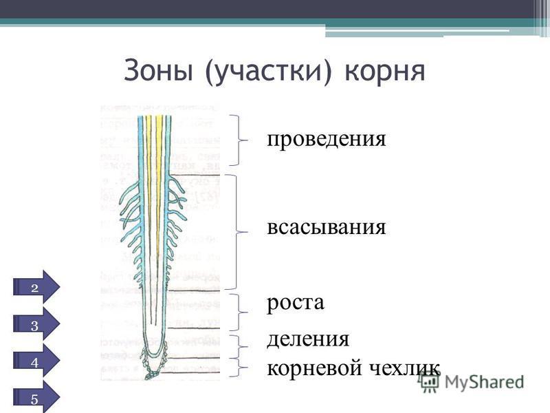 Зоны (участки) корня проведения всасывания роста деления корневой чехлик 2 3 4 5