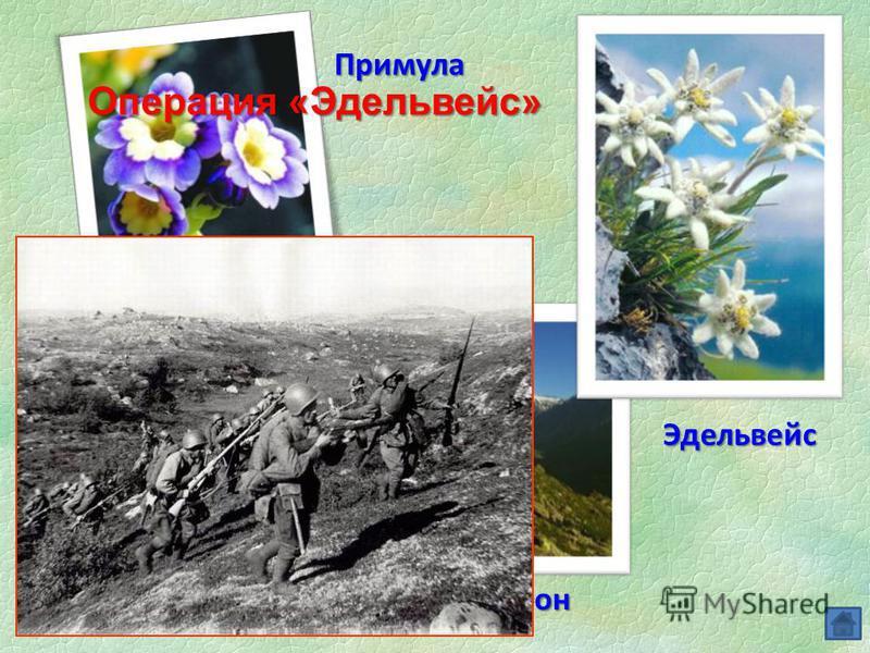 Операция «Эдельвейс» Эдельвейс Рододендрон Примула Гитлеровцы назвали операцию по захвату Кавказа именем редчайшего горного цветка Операция «Эдельвейс»