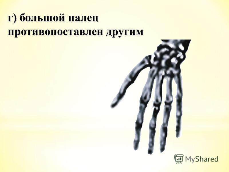 г) большой палец противопоставлен другим