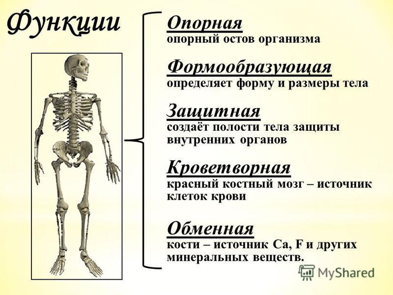 Опорная опорный остов организма Формообразующая определяет форму и размеры тела Защитная создаёт полости тела защиты внутренних органов Кроветворная красный костный мозг – источник клеток крови Обменная кости – источник Ca, F и других минеральных вещ