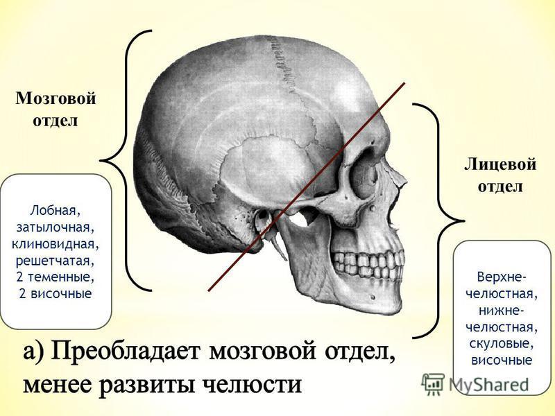 Лицевой отдел Мозговой отдел Лобная, затылочная, клиновидная, решетчатая, 2 теменные, 2 височные Верхне- челюстная, нижнечелюстная, скуловые, височные