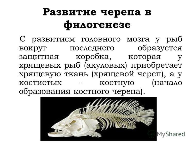 Развитие черепа в филогенезе С развитием головного мозга у рыб вокруг последнего образуется защитная коробка, которая у хрящевых рыб (акуловых) приобретает хрящевую ткань (хрящевой череп), а у костистых - костную (начало образования костного черепа).