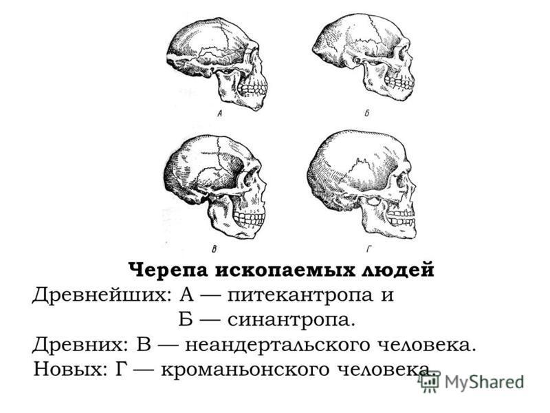 Черепа ископаемых людей Древнейших: А питекантропа и Б синантропа. Древних: В неандертальского человека. Новых: Г кроманьонского человека.