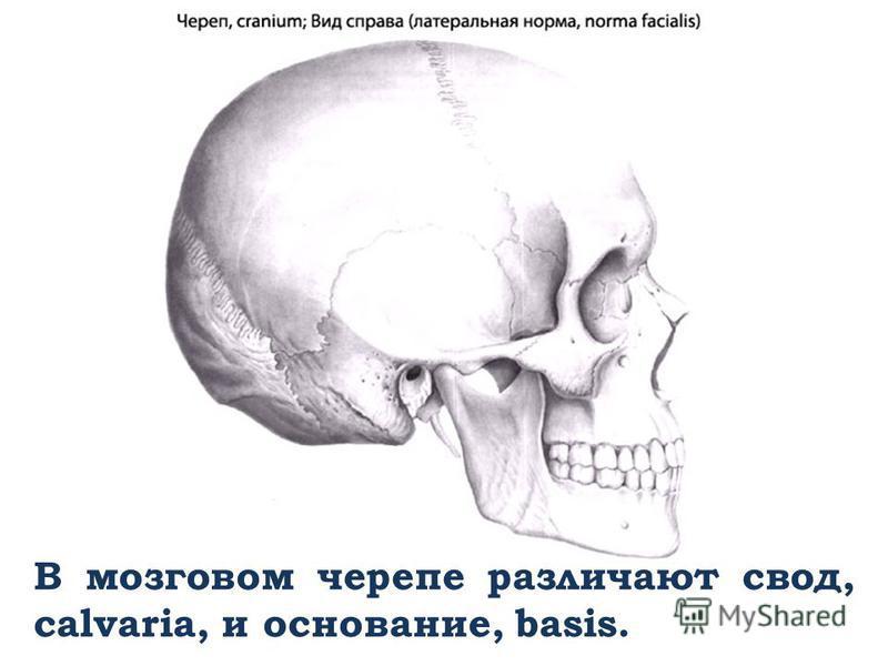 В мозговом черепе различают свод, calvaria, и основание, basis.