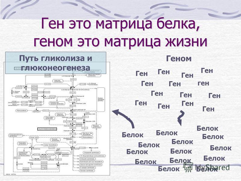 Ген это матрица белка, геном это матрица жизни Геном Ген ген Ген Белок Путь гликолиза и глюконеогенеза