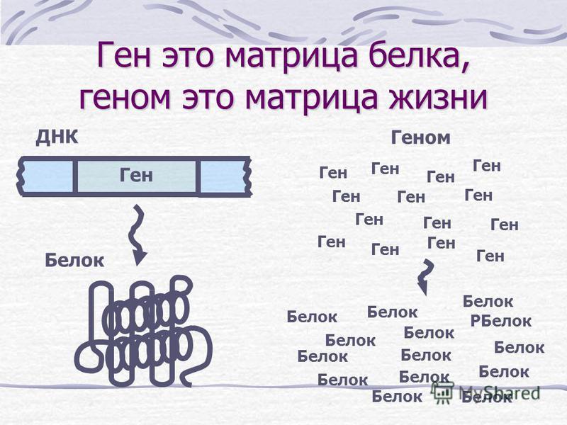 Ген это матрица белка, геном это матрица жизни Ген Геном ДНК Белок Ген Белок PБелок Белок