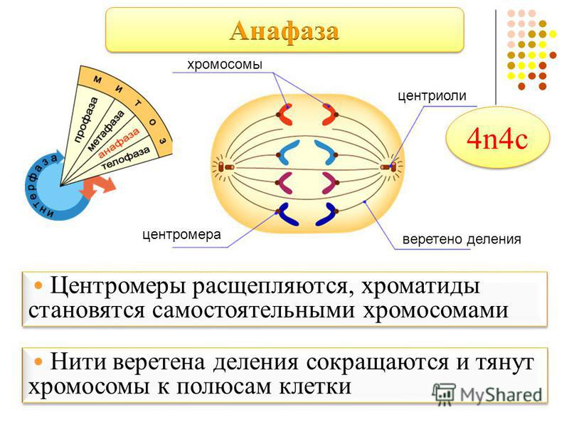 хромосомы центриоли веретено деления центромера Центромеры расщепляются, хроматиды становятся самостоятельными хромосомами Центромеры расщепляются, хроматиды становятся самостоятельными хромосомами Нити веретена деления сокращаются и тянут хромосомы