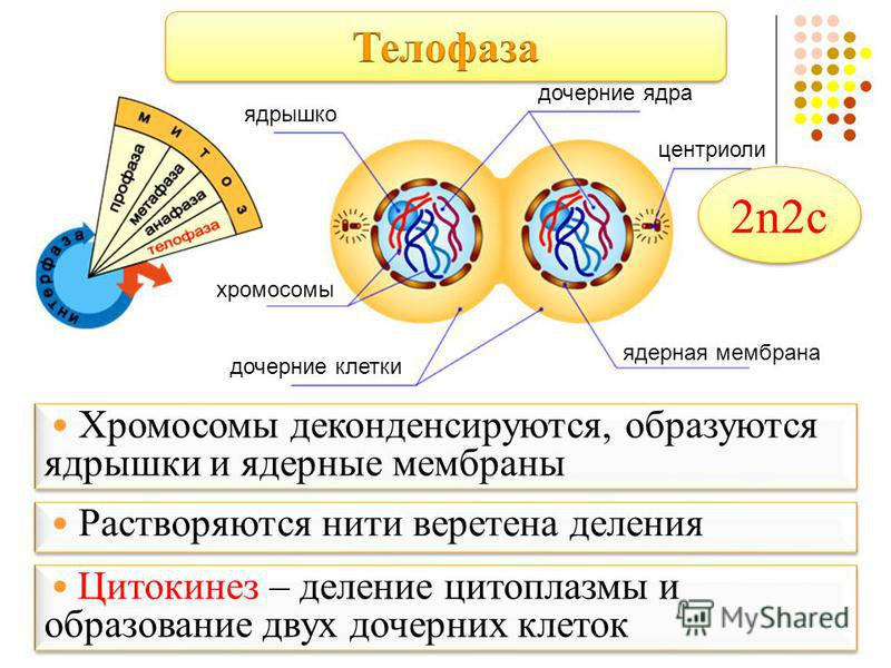 ядрышко дочерние ядра центриоли ядерная мембрана хромосомы дочерние клетки Хромосомы деконденсируются, образуются ядрышки и ядерные мембраны Хромосомы деконденсируются, образуются ядрышки и ядерные мембраны Растворяются нити веретена деления Цитокине