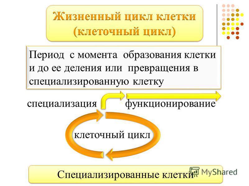 Период с момента образования клетки и до ее деления или превращения в специализированную клетку клеточный цикл специализация функционирование Специализированные клетки