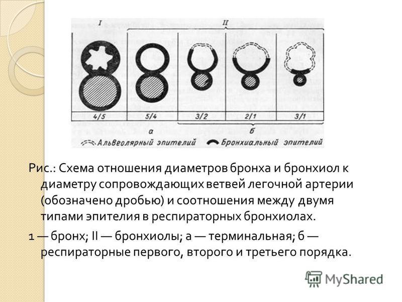 Рис.: Схема отношения диаметров бронха и бронхиол к диаметру сопровождающих ветвей легочной артерии ( обозначено дробью ) и соотношения между двумя типами эпителия в респираторных бронхиолах. 1 бронх ; II бронхиолы ; а терминальная ; б респираторные