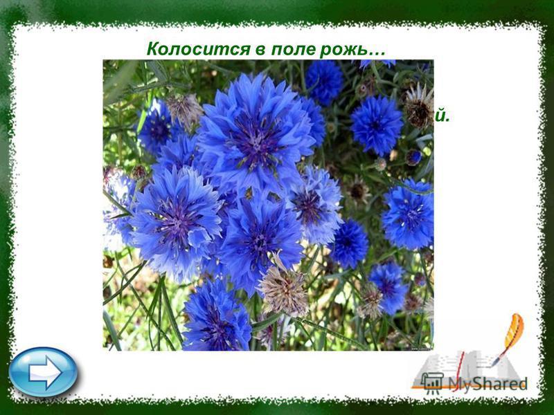 Колосится в поле рожь… Там, во ржи, цветок найдёшь. Ярко-синий и пушистый, Только жаль, что не душистый. Василёк