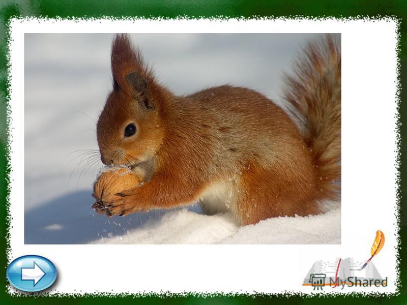 Кто по ёлкам ловко скачет И взлетает на дубы? Кто в дупле орешки прячет, Сушит на зиму грибы? Белка