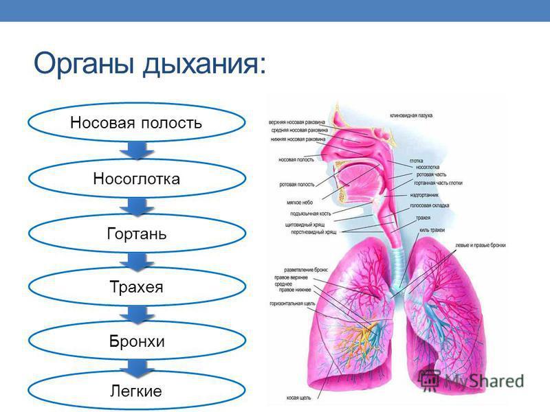 Органы дыхания: Носовая полость Носоглотка Гортань Трахея Бронхи Легкие