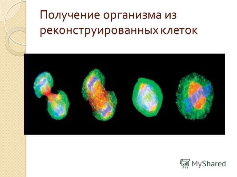Получение организма из реконструированных клеток