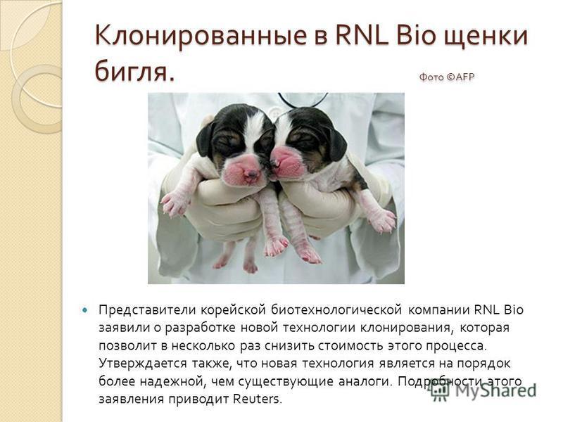 Клонированные в RNL Bio щенки бигля. Фото ©AFP Представители корейской биотехнологической компании RNL Bio заявили о разработке новой технологии клонирования, которая позволит в несколько раз снизить стоимость этого процесса. Утверждается также, что