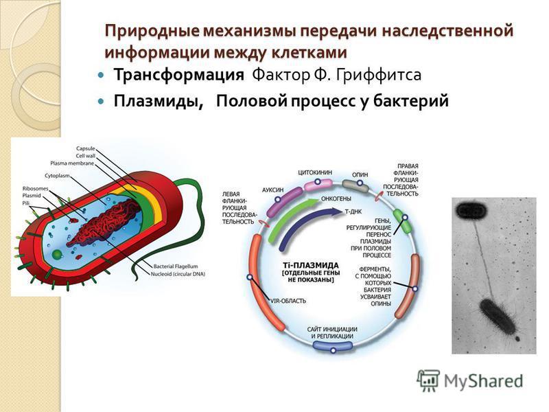 Природные механизмы передачи наследственной информации между клетками Трансформация Фактор Ф. Гриффитса Плазмиды, Половой процесс у бактерий