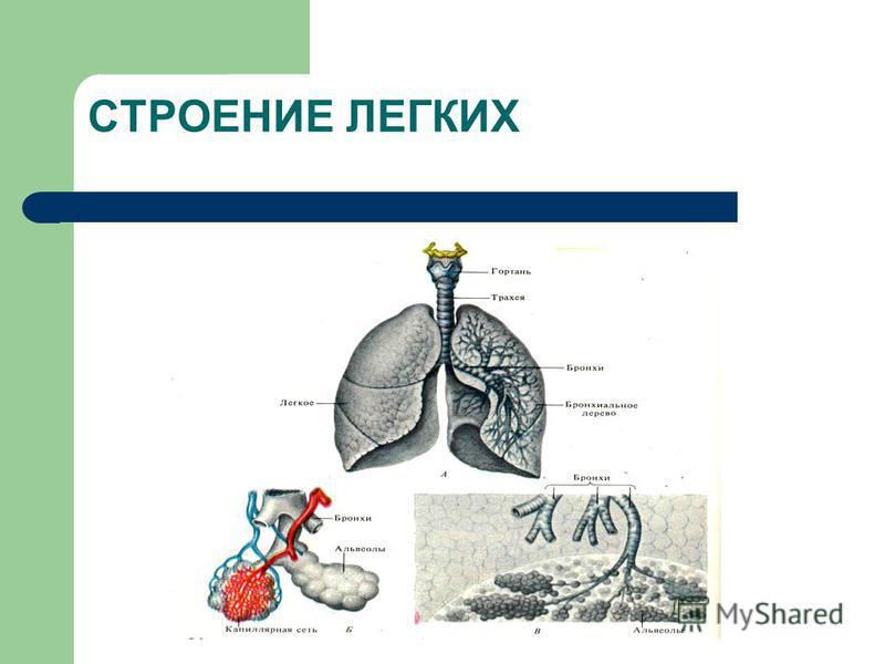 Структура аппарата внешнеего дыхания 1. Воздухоносные пути и альвеолы легких 2. Костно-мышечный каркас грудной клетки и плевра 3. Малый круг кровообращения 4. Нейрогуморальный аппарат регуляции