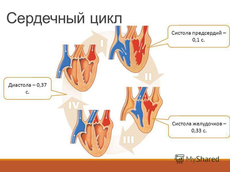 Сердечный цикл Систола предсердий – 0,1 с. Систола желудочков – 0,33 с. Диастола – 0,37 с.