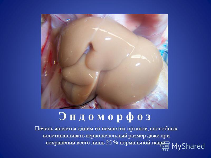 Э н д о м о р ф о з Печень является одним из немногих органов, способных восстанавливать первоначальный размер даже при сохранении всего лишь 25 % нормальной ткани.