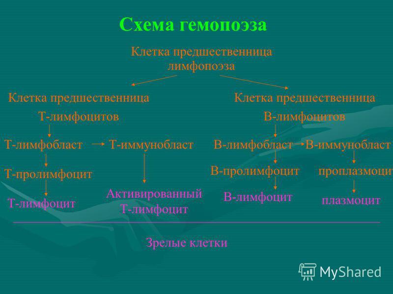 Лимфобласт фото