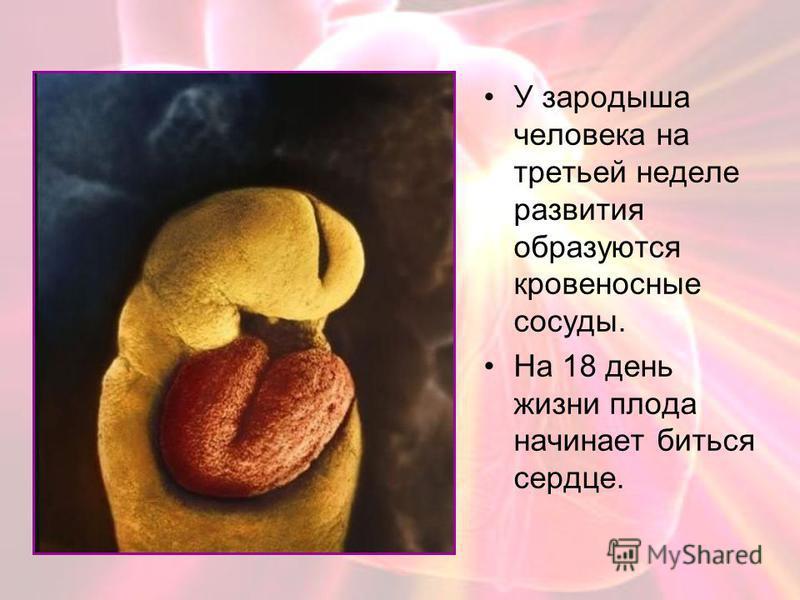 У зародыша человека на третьей неделе развития образуются кровеносные сосуды. На 18 день жизни плода начинает биться сердце.