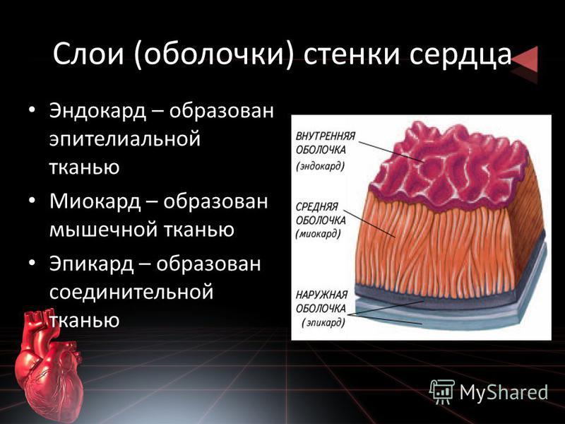 Слои (оболочки) стенки сердца Эндокард – образован эпителиальной тканью Миокард – образован мышечной тканью Эпикард – образован соединительной тканью