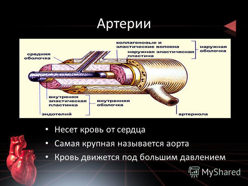 Артерии Несет кровь от сердца Самая крупная называется аорта Кровь движется под большим давлением
