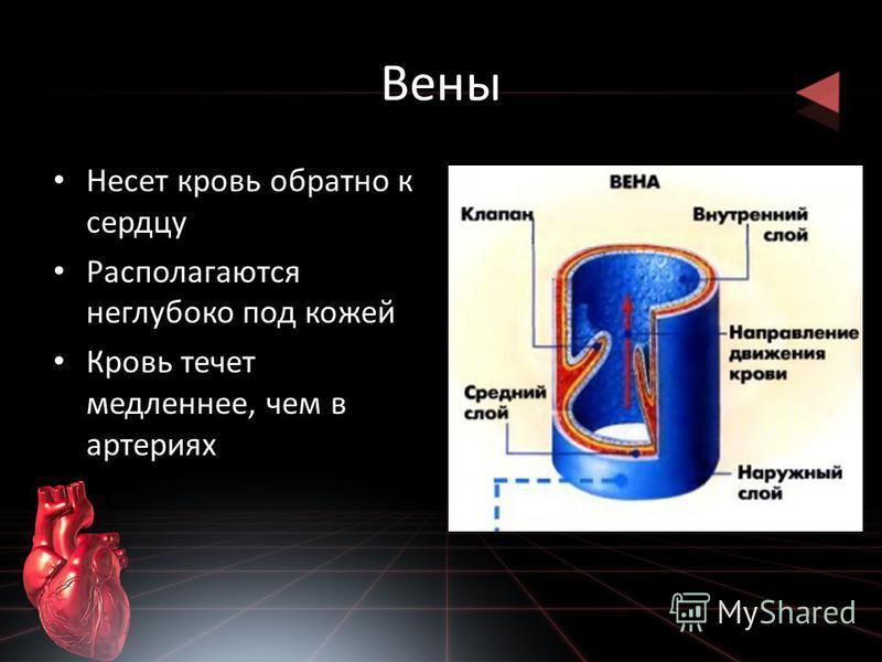 Вены Несет кровь обратно к сердцу Располагаются неглубоко под кожей Кровь течет медленнее, чем в артериях