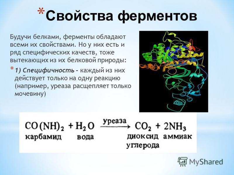 * Свойства ферментов Будучи белками, ферменты обладают всеми их свойствами. Но у них есть и ряд специфических качеств, тоже вытекающих из их белковой природы: * 1) Специфичность - каждойый из них действует только на одну реакцию (например, уреаза рас