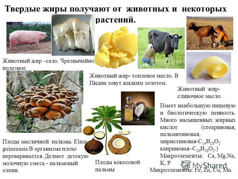 Твердые жиры получают от животных и некоторых растений. Животный жир –сало. Чрезвычайно полезное. Животный жир- топленое масло. В Индии зовут жидким золотом. Животный жир- сливочное масло. Плоды масличной пальмы. Elaus guineensis В организме плохо пе