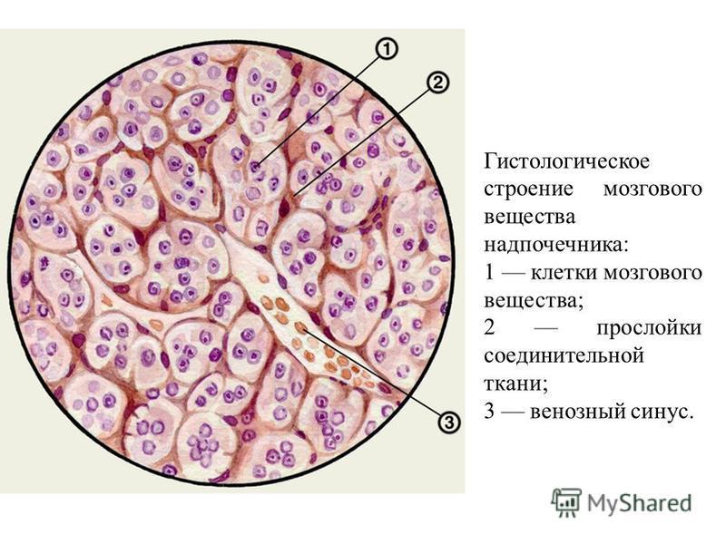 Гистологическое строение мозгового вещества надпочечника: 1 клетки мозгового вещества; 2 прослойки соединительной ткани; 3 венозный синус.