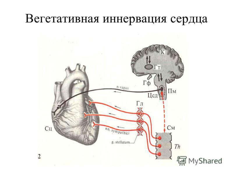 Вегетативная иннервация сердца