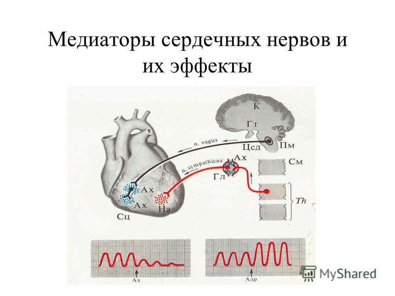 Медиаторы сердечных нервов и их эффекты