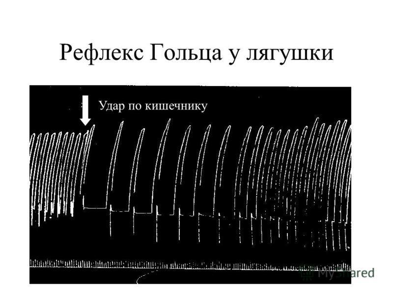 Рефлекс Гольца у лягушки Удар по кишечнику