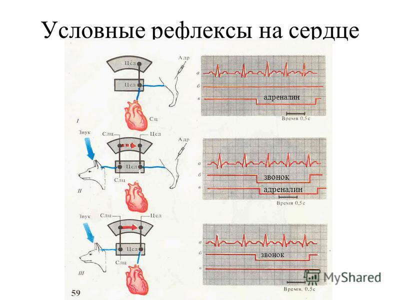 Условные рефлексы на сердце адреналин звонок адреналин звонок